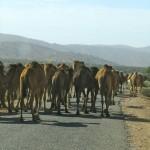 Rush hour outside Taroudant
