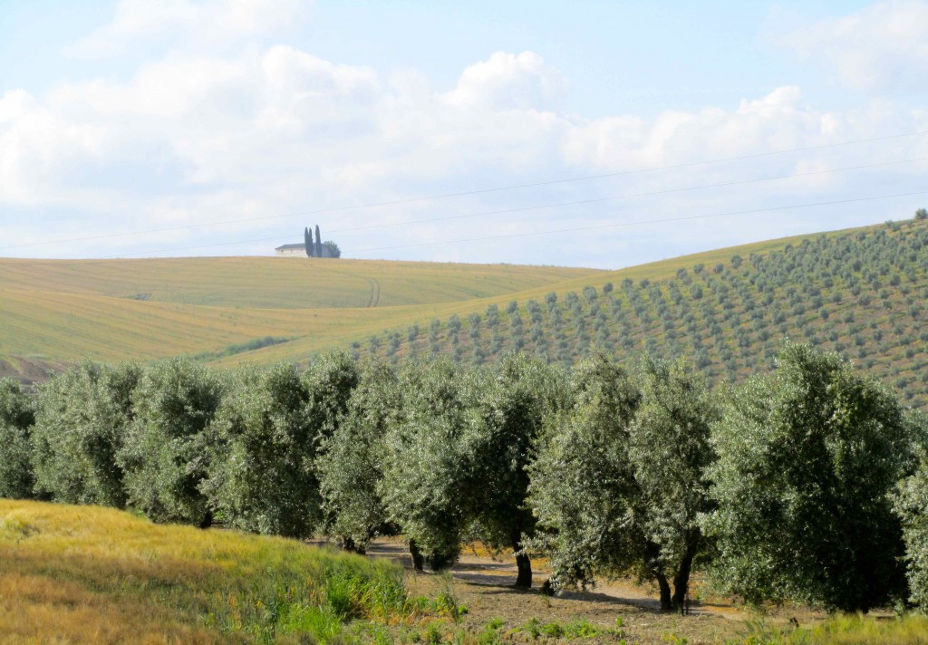 Views of olive groves and wheat fields