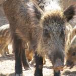 Piggies & piglets in the Sierra Espuna regional park