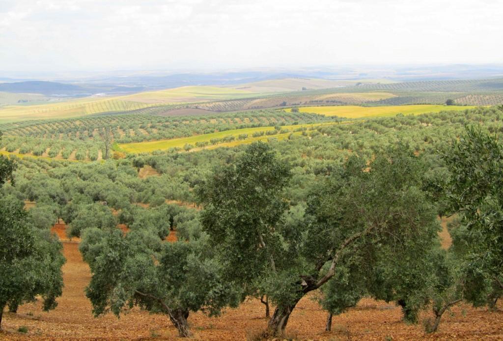 The olive groves next to La Campina campsite
