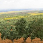 The olive groves next to La Campina campsite