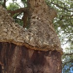 A cork tree from which some of the cork has been harvested