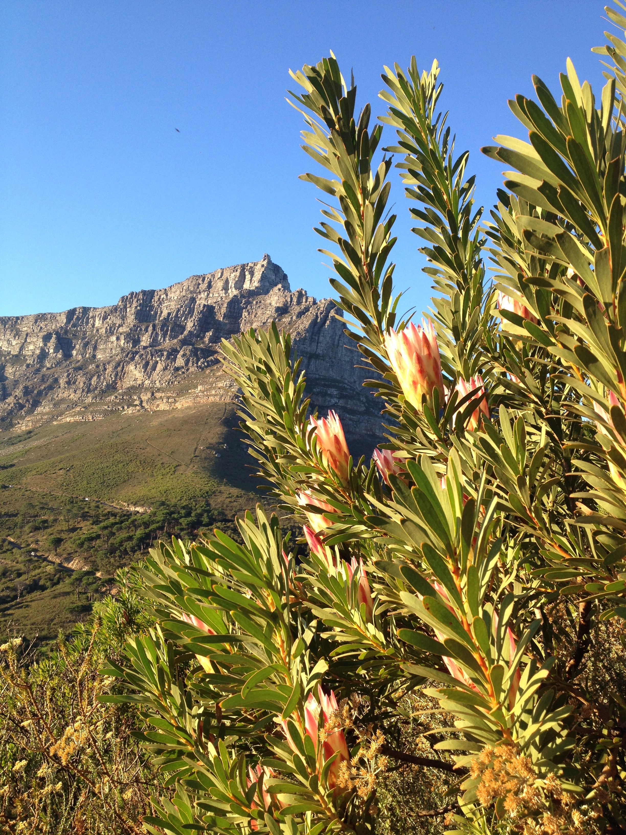 Mountains and proteas, from Lion's Head